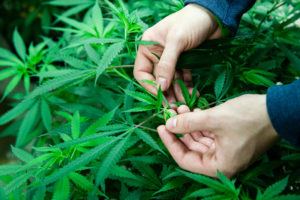 Man handling marijuana plant